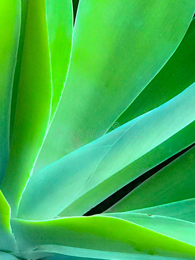 Aloès en gros plan brouillé Vera Cactus photos libres de droits