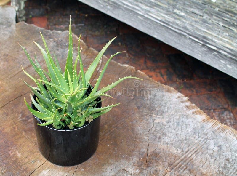 Aloès Vera Plant dans un pot en céramique noir photo libre de droits