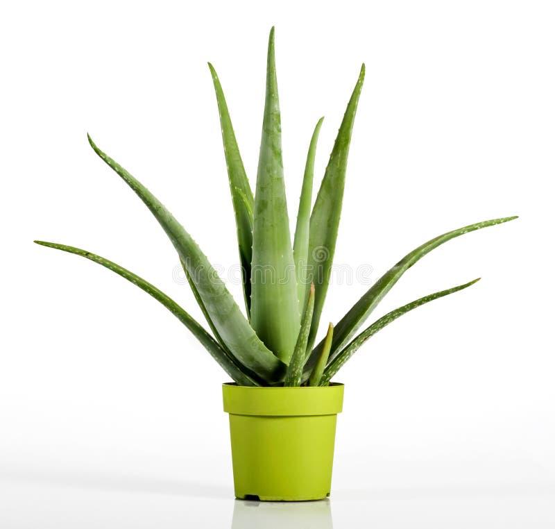 Aloès Vera Plant sur le pot de vert jaune image libre de droits