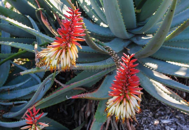Aloë in bloei met rode en witte bloemen en rode doornen langs de groene bladeren - selectieve nadruk stock afbeeldingen