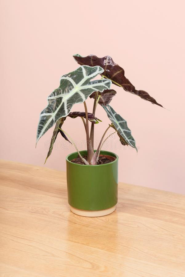 An Alocasia plant in a green pot. stock photo