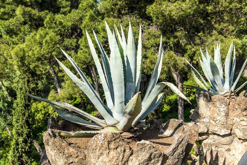 Aloe Βέρα εγκαταστάσεων στο πάρκο της Βαρκελώνης, Ισπανία στοκ φωτογραφίες
