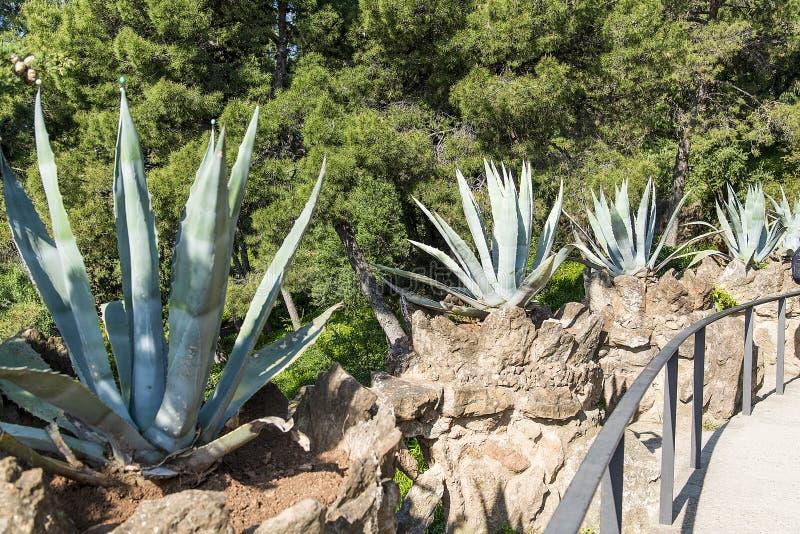 Aloe Βέρα εγκαταστάσεων στο πάρκο της Βαρκελώνης, Ισπανία στοκ φωτογραφία με δικαίωμα ελεύθερης χρήσης