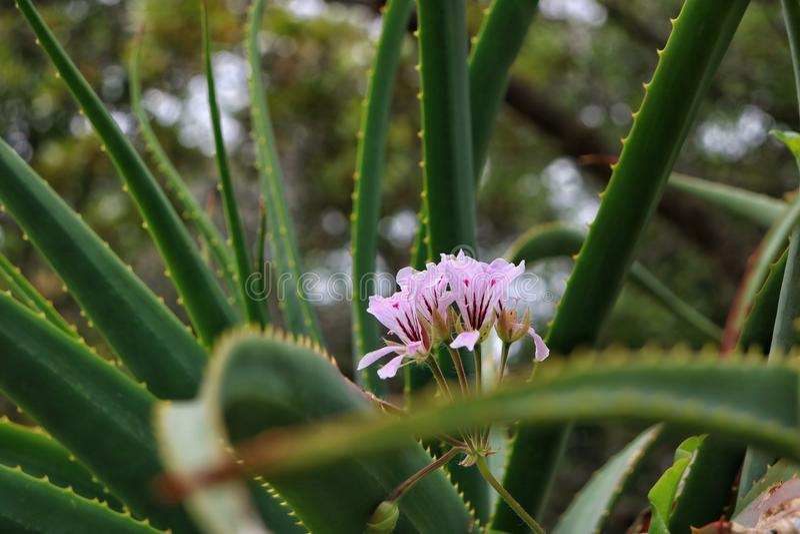Aloe εγκαταστάσεις της Βέρα με το λουλούδι σε το στοκ φωτογραφία