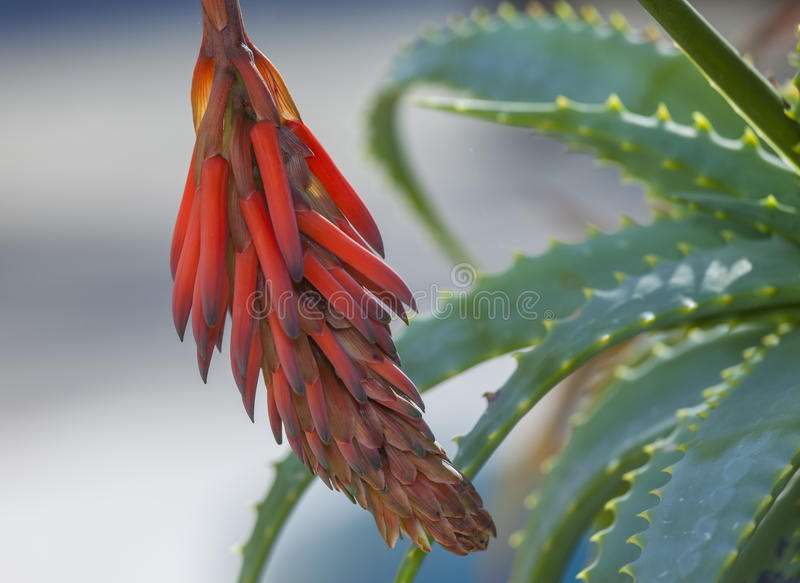 aloe λουλούδι Βέρα στοκ εικόνα με δικαίωμα ελεύθερης χρήσης