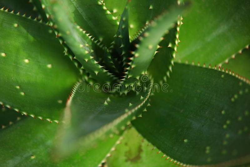 Aloe τσιμπημάτων στοκ φωτογραφίες με δικαίωμα ελεύθερης χρήσης