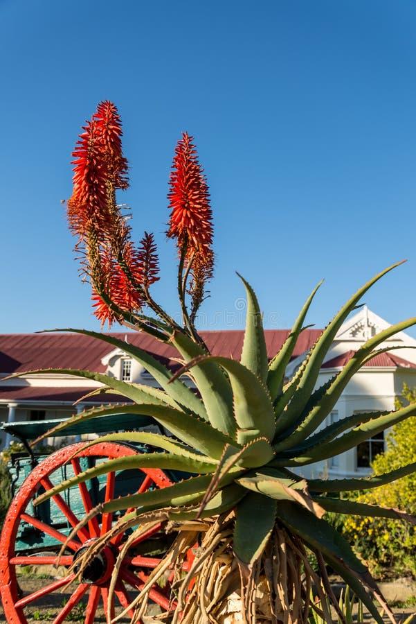 Aloe bredvid vagnen arkivbilder