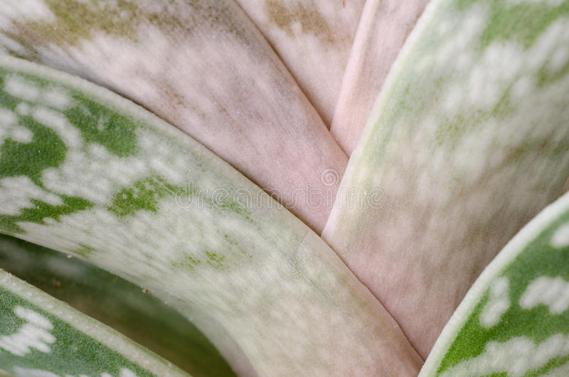 Aloe. Closeup