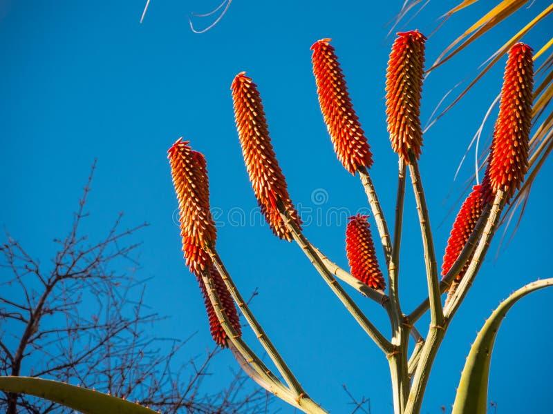 Aloe excelsa rote Blume im Abschluss oben in botanischem Garten Sydneys stockfotografie
