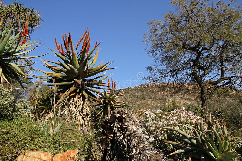 The Aloe ferox. – also known as the red or bitter aloe – is a blessing in winter. With its crimson flowers, it brightens the scenery. The royalty free stock image