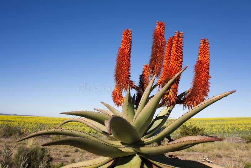 Aloe Ferox Plant Stock Image Image Of Cream Fleshy 34062399