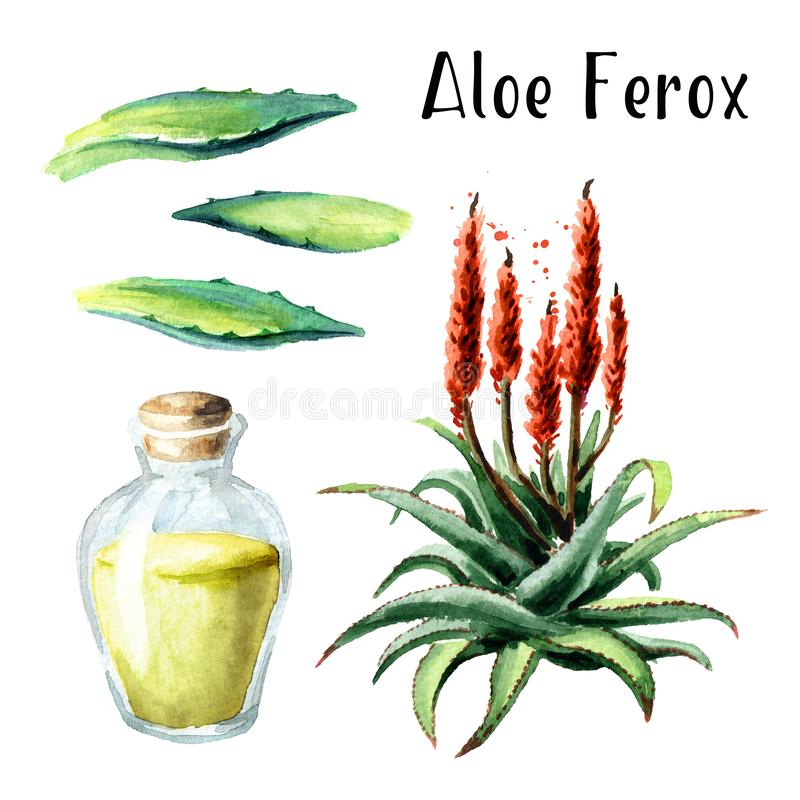 Aloe Ferox-Satz Gezeichnete Illustration des Aquarells Hand lokalisiert auf weißem Hintergrund lizenzfreie abbildung