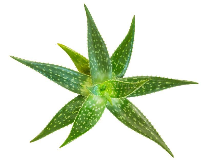 Aloe fresco vera isolata su fondo bianco, percorsi di ritaglio inc fotografia stock