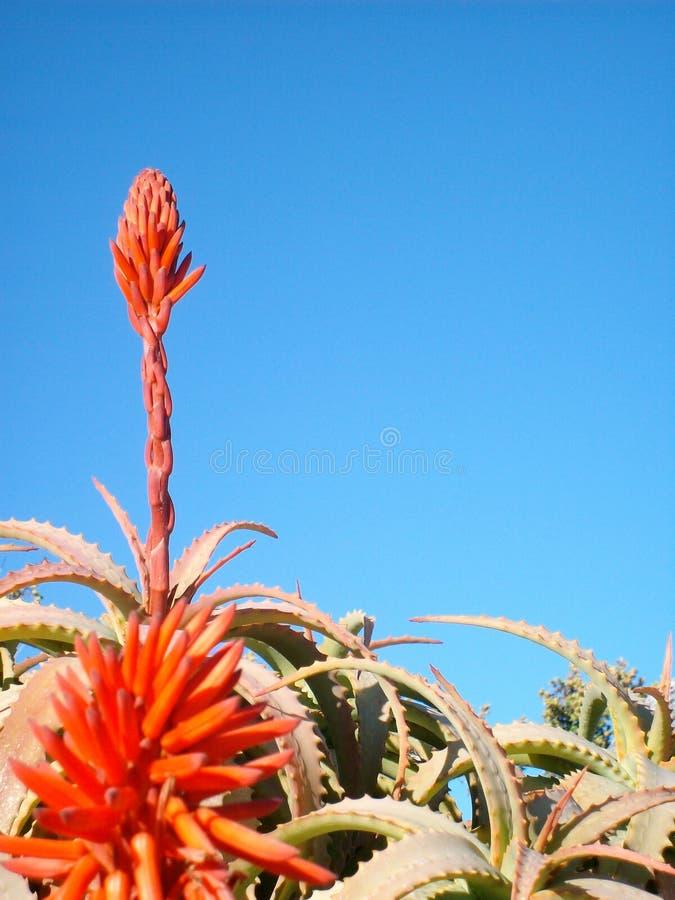 Aloe i skyen royaltyfri bild