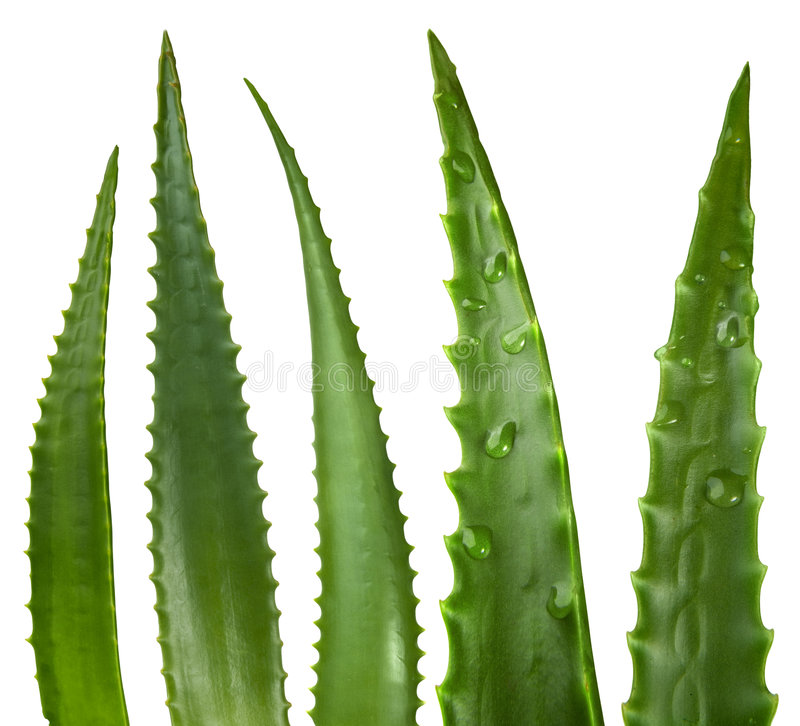 Aloe leaves stock photos