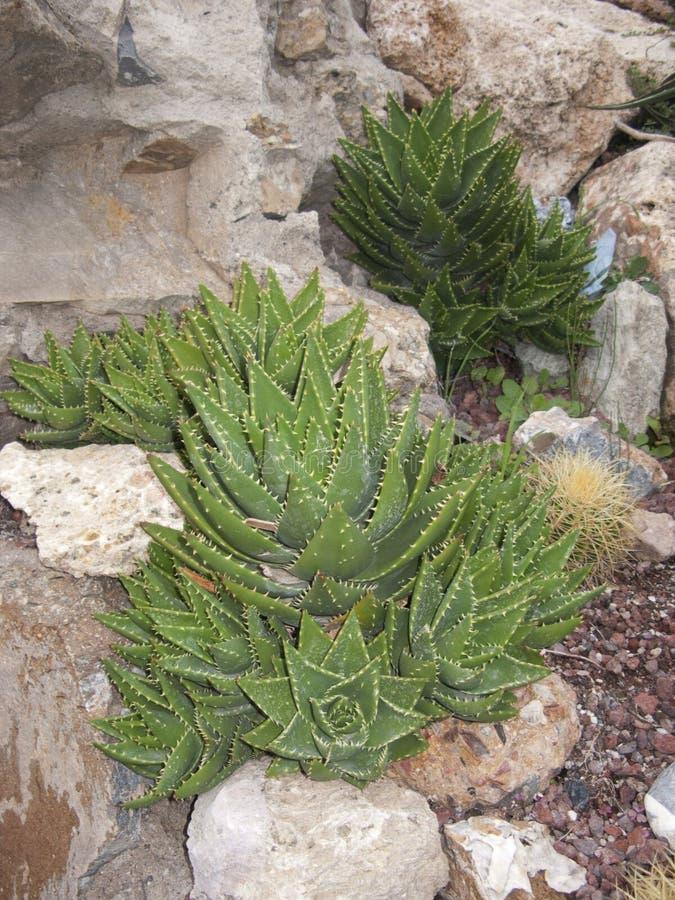 Aloe perfoliata sobre as rochas imagens de stock