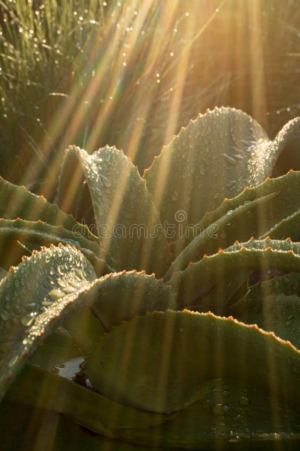 An aloe plant in South Africa with thick fleshy leaves and drops of water in a streak of sunlight. The sunlight is like a shaft of golden light, thorns on the royalty free stock image