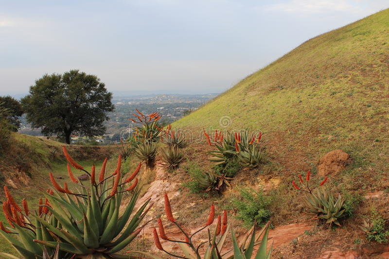 Aloe plants growing in a nature reserve royalty free stock photos