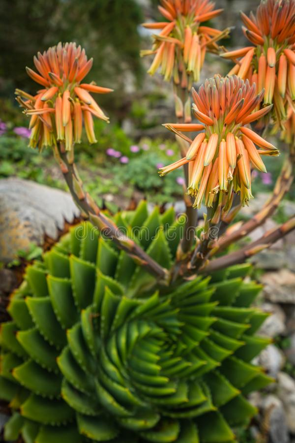 Aloe polyphylla flower stock photos