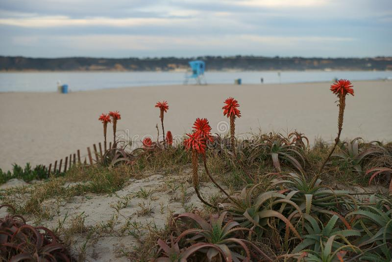 Aloe rosso selvatico Vera Cactus Blossom con un fondo di una spiaggia di primo mattino immagini stock libere da diritti