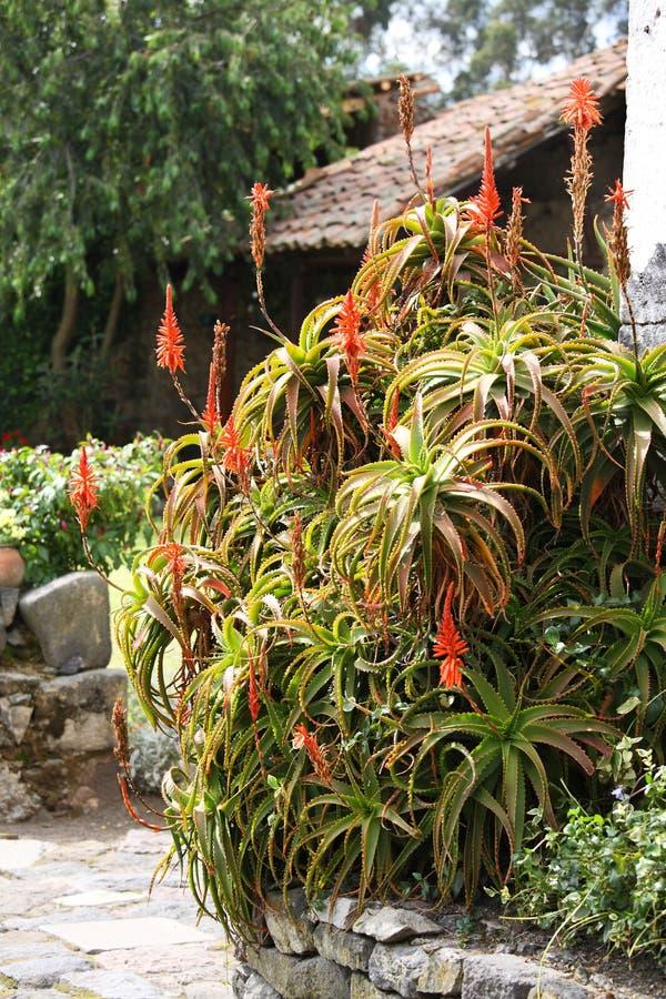 Aloe som husgarnering royaltyfri fotografi
