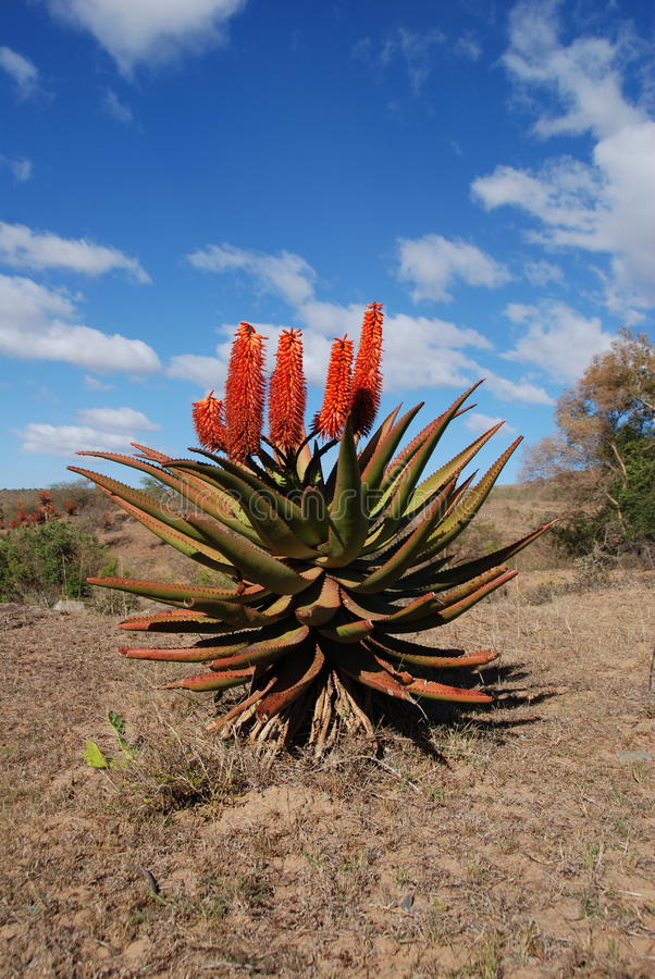 Aloe in south africa. Indigenous aloe plant, south africa stock photos