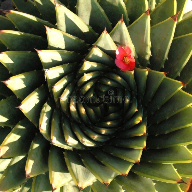 Aloe a spirale immagini stock libere da diritti