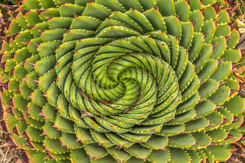 Aloe a spirale - pianta tradizionale del Lesotho fotografia stock