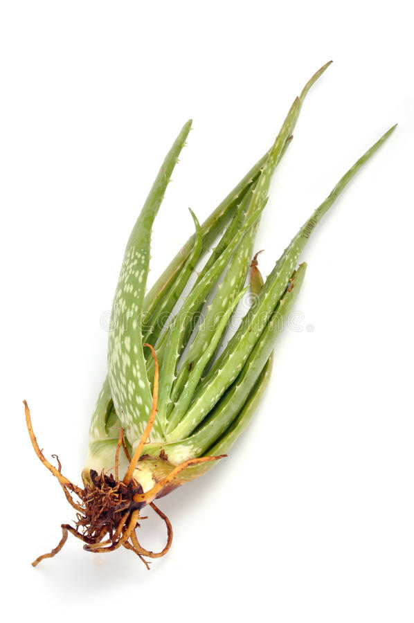 Download Aloe Vera Royalty Free Stock Images - Image: 11064249