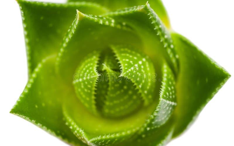 Aloe vera arkivbild