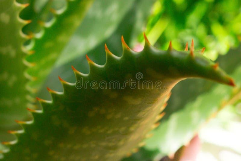 Aloe Vera stockbilder