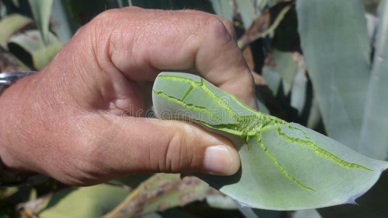 Aloe Vera - aloeväxtAgave, ett plockat saftigt blad i handen av en man arkivfoto