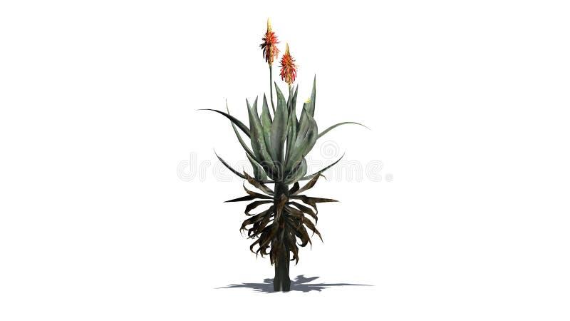 Aloe-Vera-Anlage mit Schatten stock abbildung