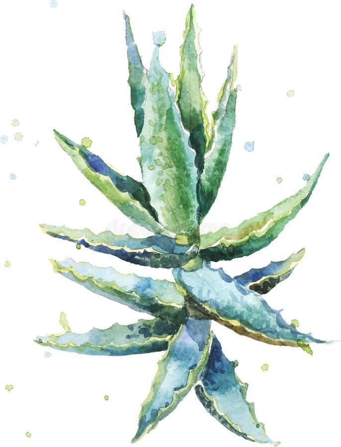 Aloe Vera Aquarellvektor Succulentaloe lizenzfreie abbildung