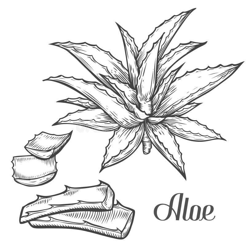 Aloe-Vera-Betriebshand gezeichnet, Vektorillustration auf weißem Hintergrund gravierend Bestandteil für traditionelle Medizin, Be lizenzfreie abbildung