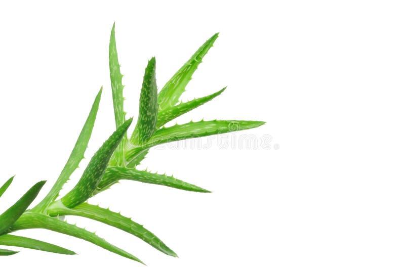 Aloe Vera-Blätter lizenzfreie stockbilder