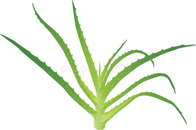 Aloe Vera-Blätter lizenzfreie abbildung