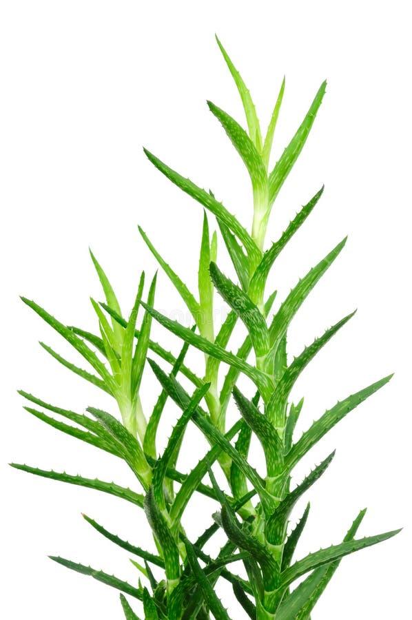 Aloe Vera-Blätter getrennt auf Weiß lizenzfreies stockbild