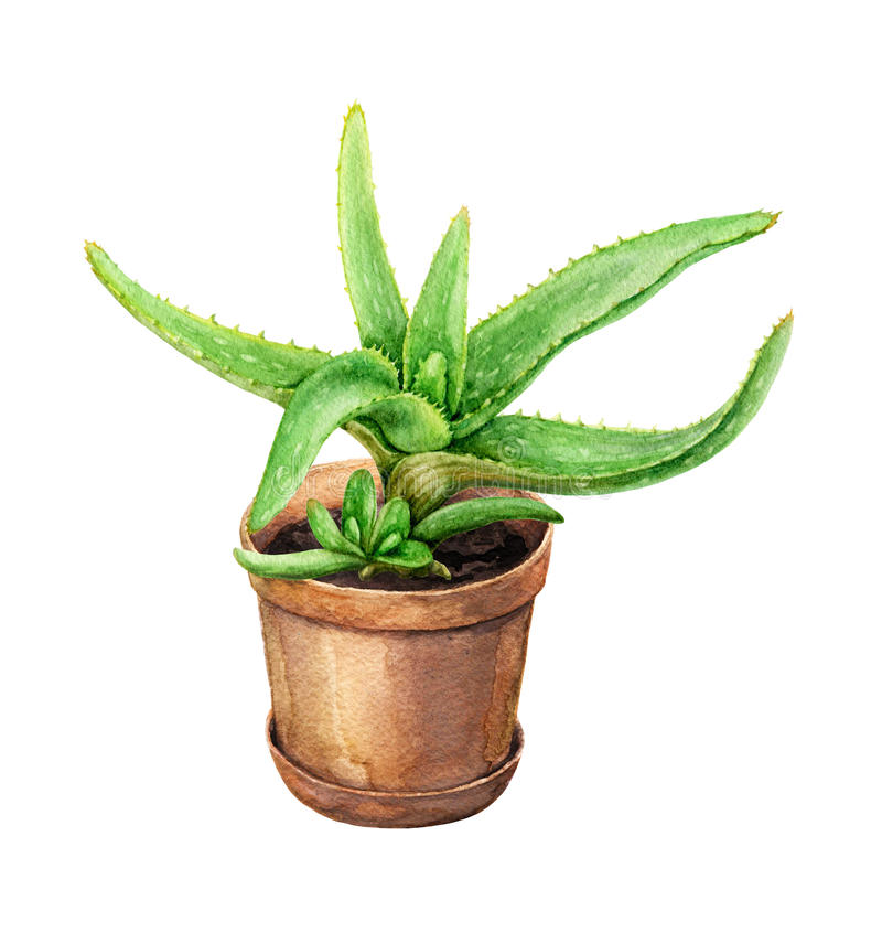 Aloe Vera in clay flowerpot. Hand drawn pot plant. Watercolor green Aloe Vera with young shoots in clay flowerpot on white vector illustration