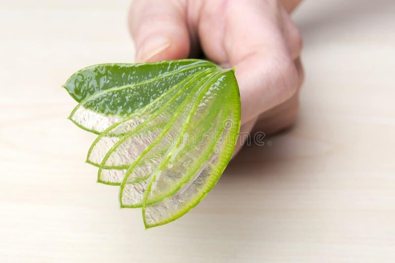 Aloe Vera. Close up of hands with aloe vera stock photography