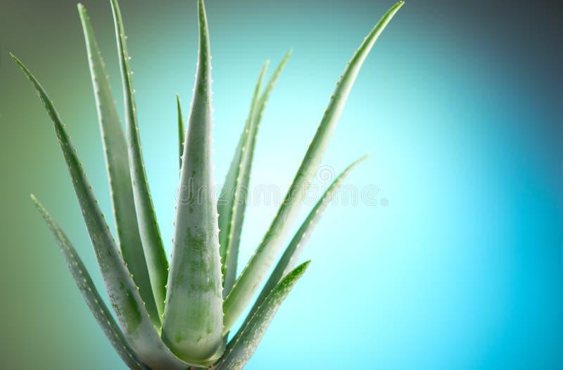 Aloe Vera closeup. Aloevera plant, natural organic renewal cosmetics, alternative medicine. Aloe Vera leaf close-up. Skin care concept, moisturizing. On blue royalty free stock images