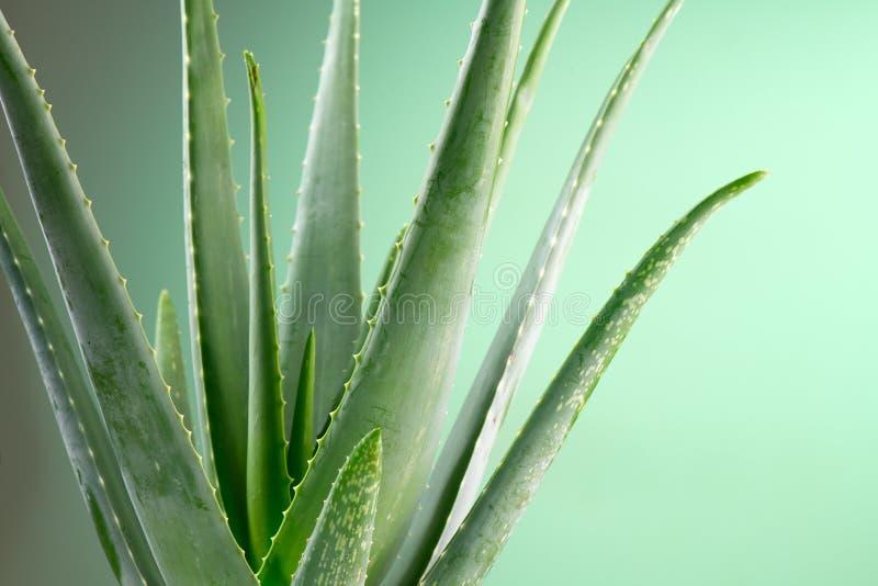 Aloe Vera closeup. Aloevera plant, natural organic renewal cosmetics, alternative medicine. Aloe Vera leaf close-up. Skincare. Aloe Vera closeup. Aloevera plant royalty free stock images