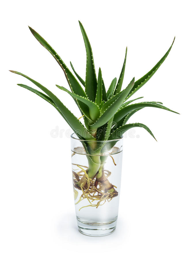 aloe vera con le radici in un bicchiere d 39 acqua fotografia. Black Bedroom Furniture Sets. Home Design Ideas