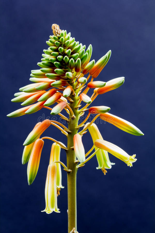 Aloe vera flower with details stock image