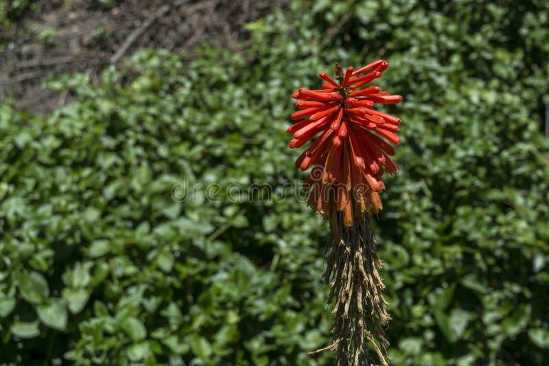 Aloe vera flower stock photography