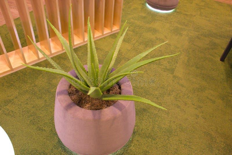 Aloe vera flower at Riga airport. Latvia royalty free stock image