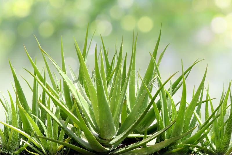 Aloe Vera, fresh leaf of Aloe Vera in farm garden natural background stock photography