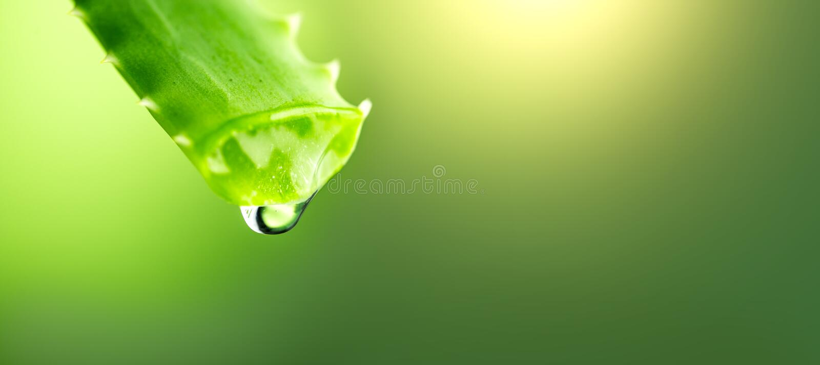 Aloe Vera gel dripping from Aloe green leaf closeup. Skincare concept. Drop of Aloevera fresh juice macro shot royalty free stock photos