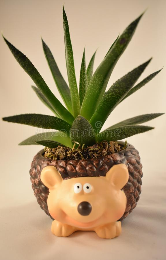 Aloe vera green succulent plant in a cute pot hedgehog - isolated on white background stock photography