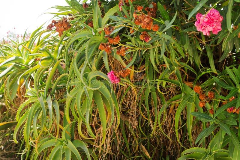 Download Aloe Vera Growing In Natural Environment Stock Image - Image: 20581569